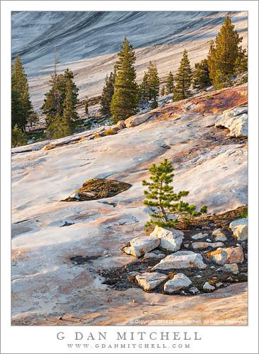 Pine Tree, Granite Slabs, Evening Light