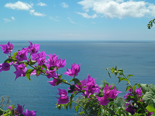 Bougainvillea at Ogazaki Wing, Rest Space, Shimoda, Shizuoka, Japan