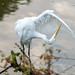 Egret-4 by Mr.O Photos