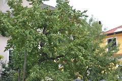 Aprikoosipuu