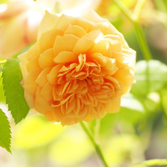 Photo:Rose, Grace, バラ, グレイス, By T.Kiya
