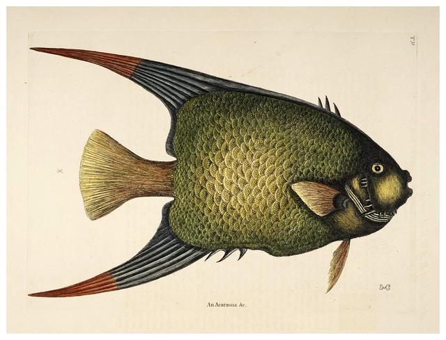 016- El pez angel-Natural History of Carolina, Florida and the Bahama Islands-Vol2-1754