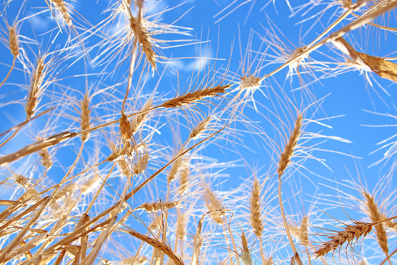 Wheat 2014