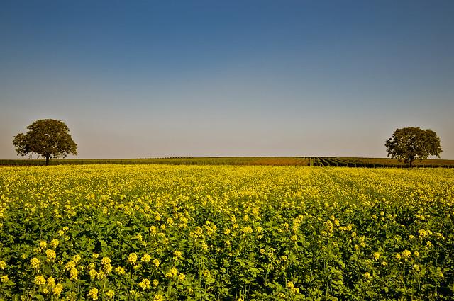 Gelbsenf im Weinberg. Foto: Stephan Benz