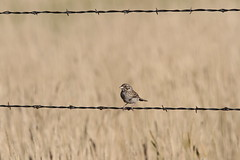 animal, wire fencing, home fencing, sparrow, barbed wire, fence, fauna, swallow, bird, wildlife,