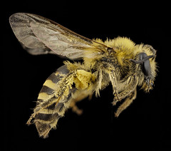 Cellophane Bees