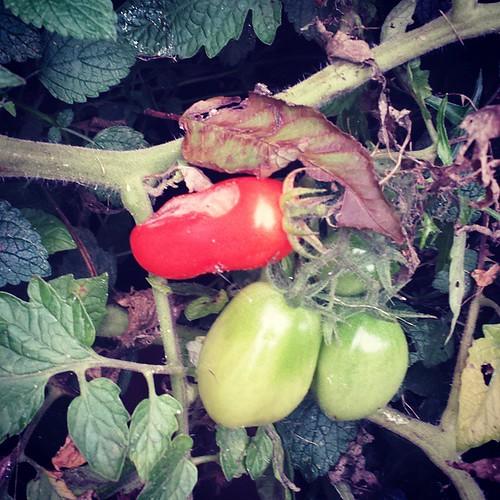 En als mijn tomaten rijp zijn voor de pluk worden ze opgevreten voor ik de kans krijg #moestuinfail