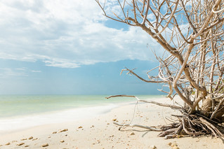 Mangrove - Honeymoon Island FL | by GarrettUhde23