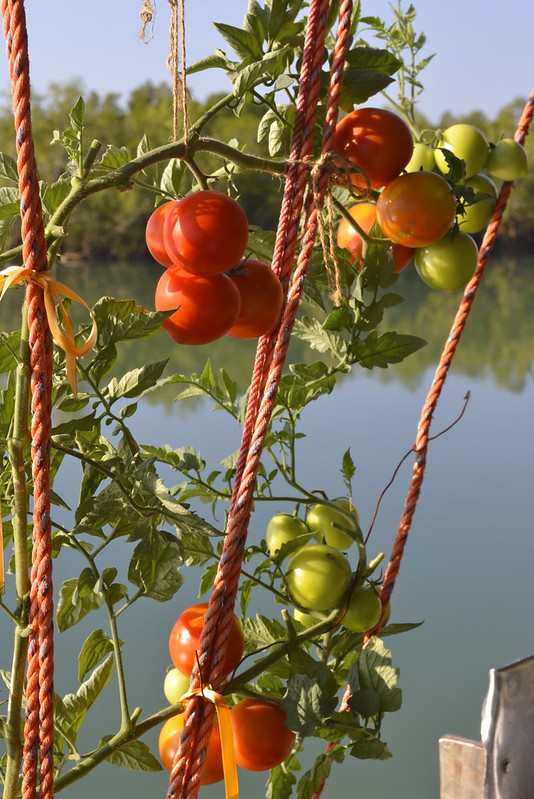 boat tomatoes