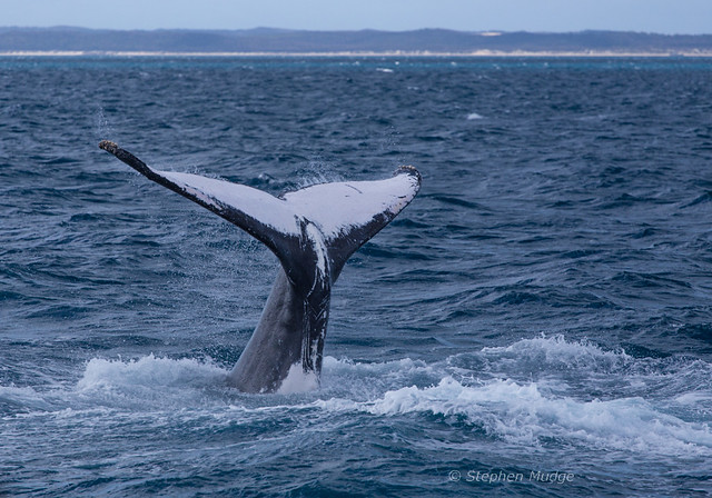 Humpback whale tail #2