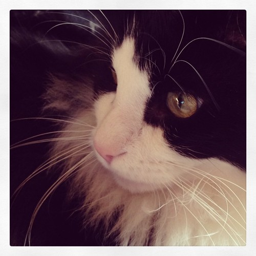 #fmsphotoaday June 15 - Lovely #catsofinstagram #tuxedocats