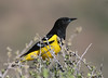 Scott's Oriole - Big Bend National Park, Texas
