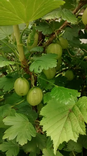 gooseberries June 14