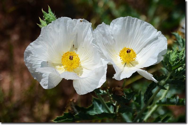 Prickly Poppy 1