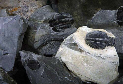 Fossil trilobyte in a gem store in Banff