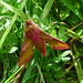 Small photo of Small Elephant Hawkmoth. Deilephila porcellus
