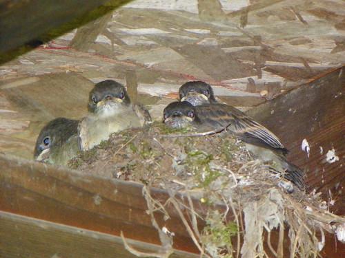 nestlings1