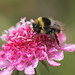 Red-tailed Bumblebee (male) - Bombus lapidarius