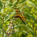 Celithemis eponina (Halloween pennant), away from water, probably female