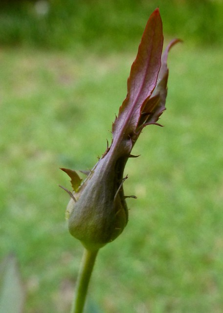 Leaf-pointed sepal on 'Souv. de Victor Hugo'