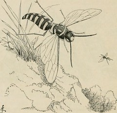 "Image from page 451 of ""Insects abroad : being a popular account of foreign insects, their structure, habits, and transformations"" (1883)"
