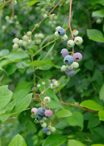 Highbush Blueberries