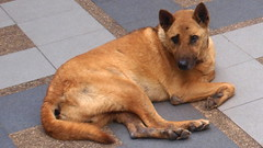 dog breed, animal, dog, carolina dog, pet, finnish spitz, belgian shepherd malinois, belgian shepherd, korean jindo dog, wolfdog, carnivoran,