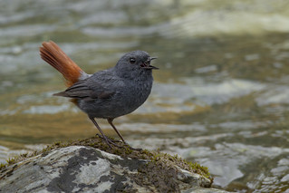 Plumbeous Redstart  - Rhyacornis fuliginosa - 红尾水鸲