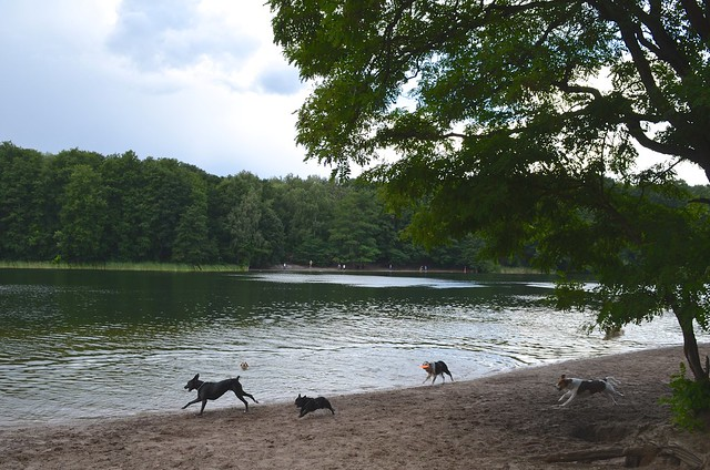 Grunewaldsee Berlin_ dogs running on beach at lake