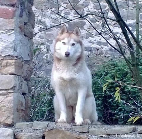 Fri, Jun 27th, 2014 Lost Female Dog - The Woods, Cahir, Tipperary