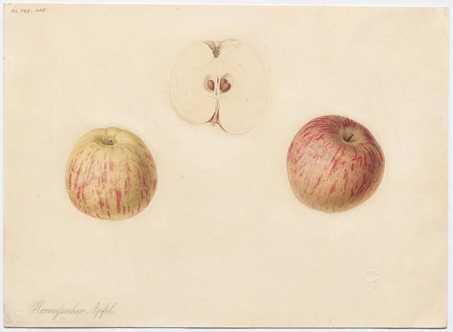 Apfelsorte Hornussecher