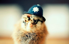Top-10-Baby-Chicks-in-Hats-10