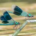 Two banded demoiselles, showing off their winngs