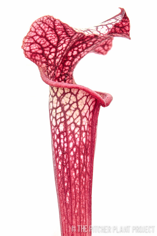 "Sarracenia ""willisii"" x alata red/black"