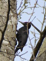 Pic noir - Black woodpecker