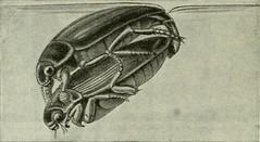 """Image from page 137 of """"Die Forstinsekten Mitteleuropas; ein Lehr- und Handbuch"""" (1914)"""