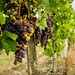Vignes Bordelaises ©Polo-Foto