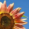 Sunflower Quarter