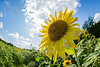 sunflower-2120