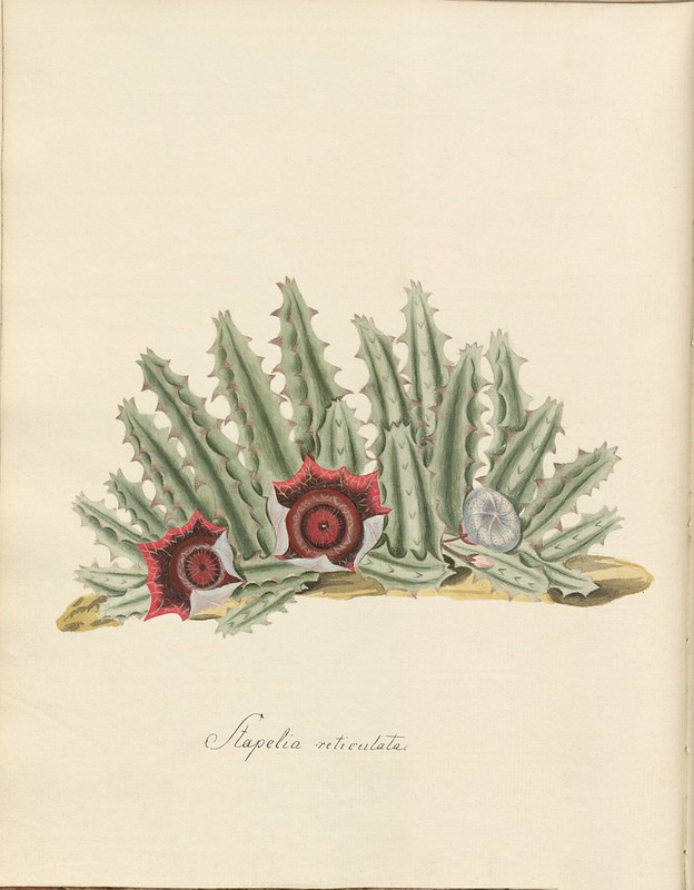 18th cent. watercolour sketch of plant