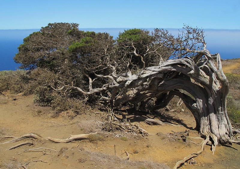 El Sabinar, el bosque encantado de la Isla de El Hierro