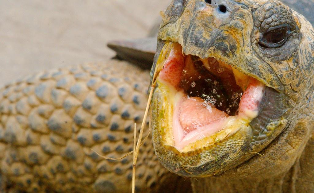 Galapagos Tortoise_3
