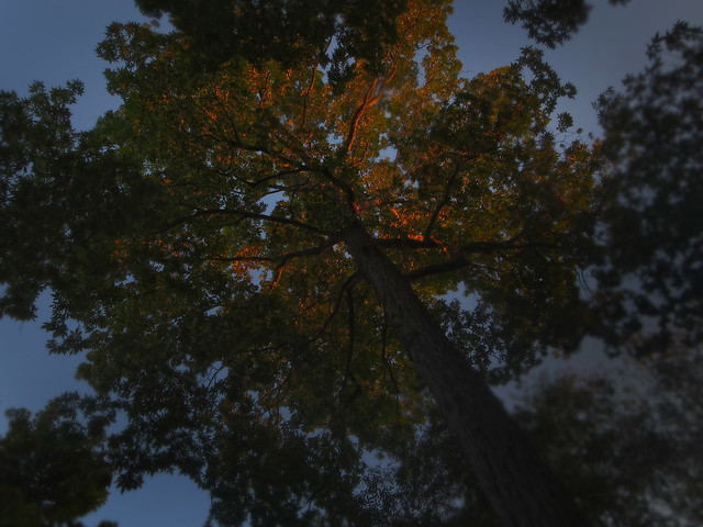 sunset light in the big tree; 22 parker rd (2014)