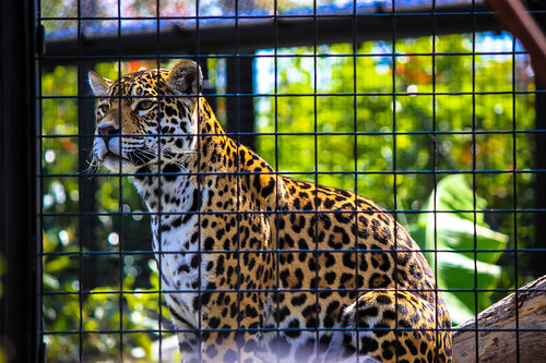 Leopard at Paris Zoo