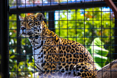 Leopard at Paris Zoo