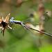 damsel DSC_3233 by hummingbirdzoo