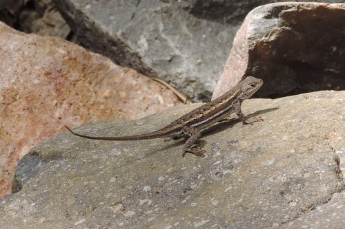 STRIPED PLATEAU LIZARD  (Sceloporus virgatus)