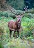 Deer stag - Richmond Park