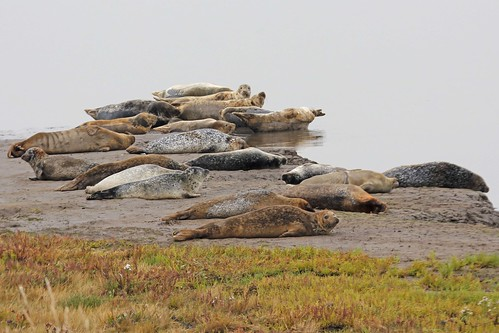 Seals at Seal Sands
