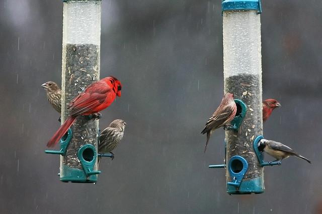 CardinalFinchChickadee_8714